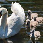 Schwan mit Babys